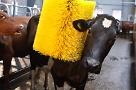 cow20using20swinging20cow20brush20-20978420700x394